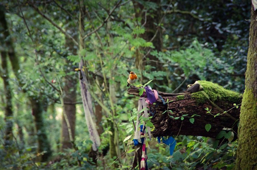 Robin flitting round the fairy tree in Aberfoyle Aberfoyle Bird Branch Branches Cute Day Forest Greenery Growing Leaves Natrure Natural Nature Nature No People Outdoors Perched Rags Robin Scotland Scottish Summer Tiny Trees Wildlife