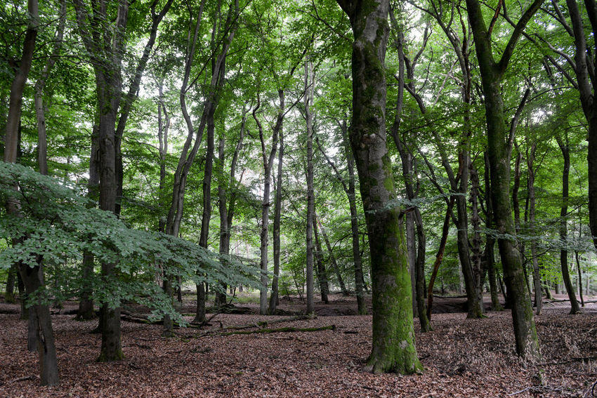 Tafelberg hiking route in Hulshorst the Netherlands Hulshorst Netherlands The Netherlands Beauty In Nature Day Forest Green Color Hiking Trail Holland Landscape Nature No People Outdoors Scenics Tafelberg Tranquil Scene Tranquility Tree Tree Trunk