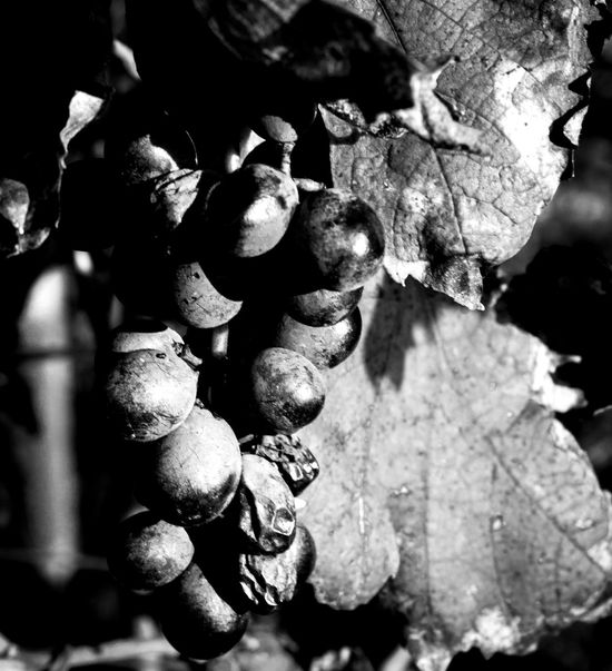 Wine Italy Grapes Black And White Veneto Italy No People Day Freshness