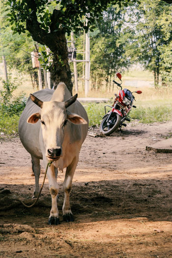 Jharkhand, India Village India Jharkhand Nature Landscape People Colors Silent Moment Silent Pure Life Pure Beauty Mammal Livestock Transportation Domestic Animals Domestic Cattle Tree Portrait Land