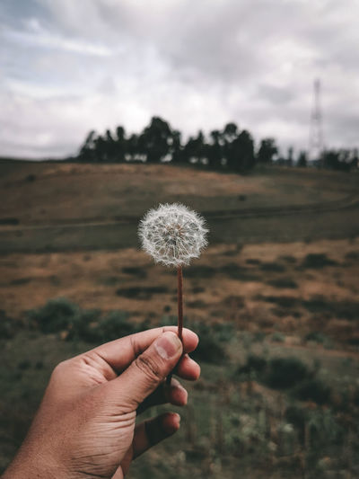 Hand holding dandelion flower on field