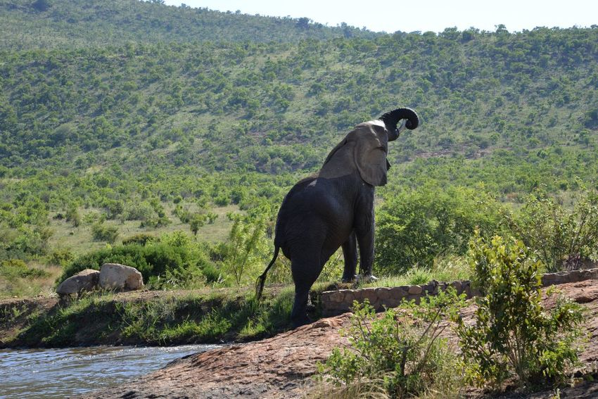 Elephants One Animal Animal Southafrica Tree Animal Themes Animals In The Wild Nature Animal Wildlife Mammal Outdoors No People Full Length Day Plant Domestic Animals Beauty In Nature Sky (null)Elephant Water Hole Animals In The Wild Nature Beauty In Nature African Elephants Elephants In The Wild