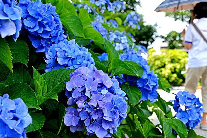 アジサイ祭り😆 Hello World Nature_collection EyeEm Nature Lover Flower Flowers Nikon Flowerporn EyeEm Best Shots Naturelovers Eye Em Nature Lover