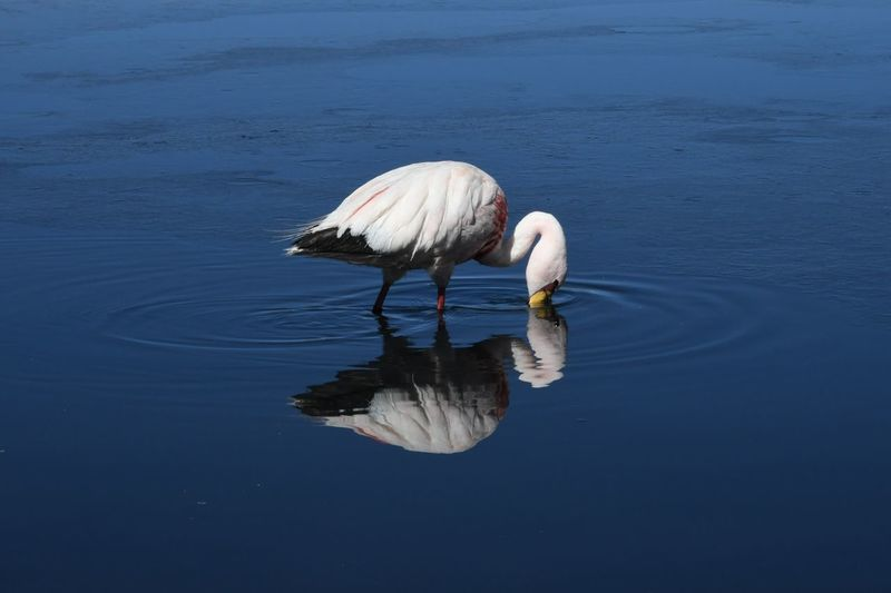 Flamenco reflection EyeEm Selects Water Animal Wildlife Animals In The Wild Animal Themes Animal Bird Vertebrate One Animal Nature Day Reflection Outdoors Waterfront Lake Beauty In Nature Water Bird Wading Freshwater Bird No People High Angle View My Best Photo