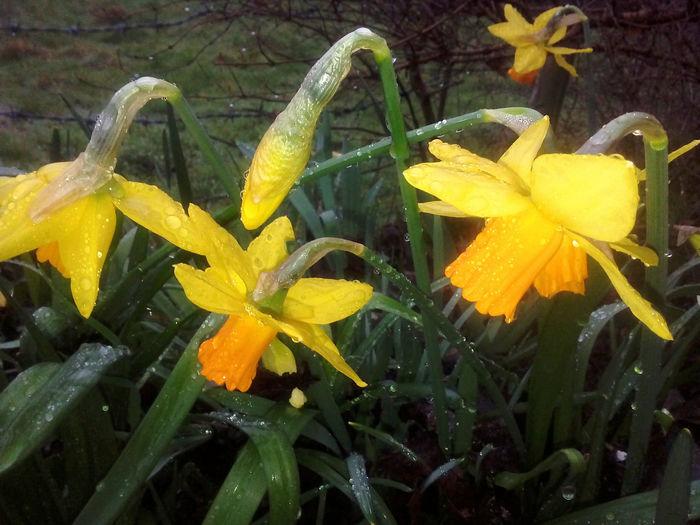 Double Daffodils Daffodil Daffodils English Daffodil Narcissism Narcissus Orange Trumpet Flowers Spring Spring Blooms Spring Flowers Spring Flowers April Yellow Daffs Yellow Flower Yellow Orange