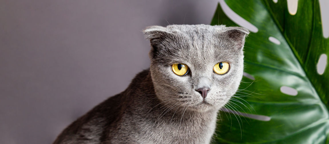 Cute gray cat of british breed on the background of a monstera palm leaf looks at the camera.