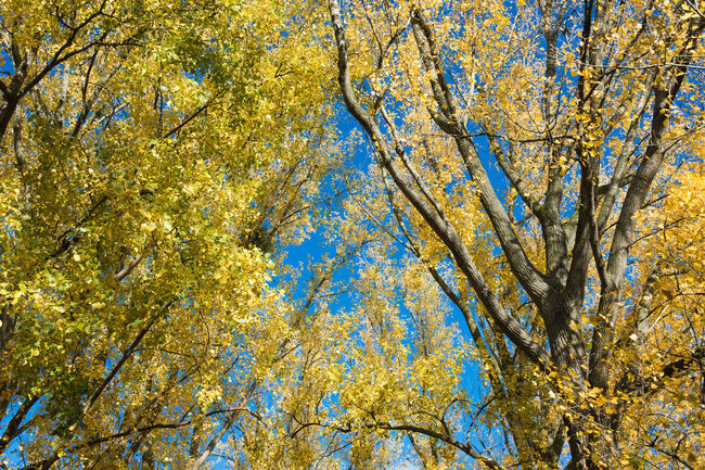 Colors of fall. Autumn Autumn Colors Autumn Leaves Beauty In Nature Blue Branch Day Fall Fall Beauty Fall Colors Growth Low Angle View Nature No People Outdoors Rural Scene Sky Tranquil Scene Tranquility Tree Yellow