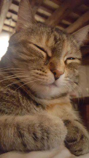 My cat...😆🦁 Domestic Cat Domestic Animals Pets Animal Themes Feline Indoors  One Animal Close-up No People Brown Non-urban Scene Tranquility Tranquil Scene Scenics Catalunya Spain ✈️🇪🇸 Connection España🇪🇸 Barcelona Animal Gato😽 Gatos 😍 Gata ♡ Gata Gata🐱