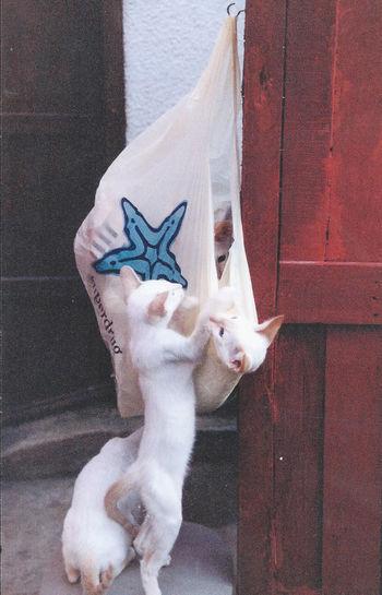 Animal Themes Domestic Animals Domestic Cat Feline No People Pets Siamesecats