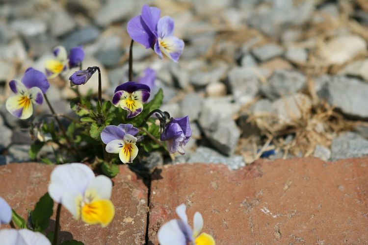 Spring Spring Flowers 봄 꽃 Showcase April Viola Tricolor Pansy Flower 제비꽃