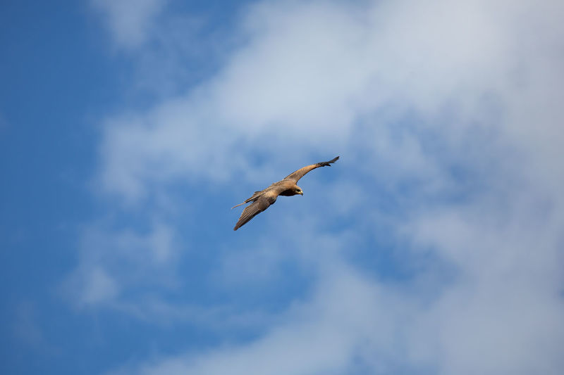 One Animal Bird Animal Wildlife Vertebrate Animal Themes Animals In The Wild Animal Flying Low Angle View Spread Wings Cloud - Sky Sky Mid-air No People Motion Day Nature Outdoors Beauty In Nature Blue Seagull Flight Eagle - Bird Eagle