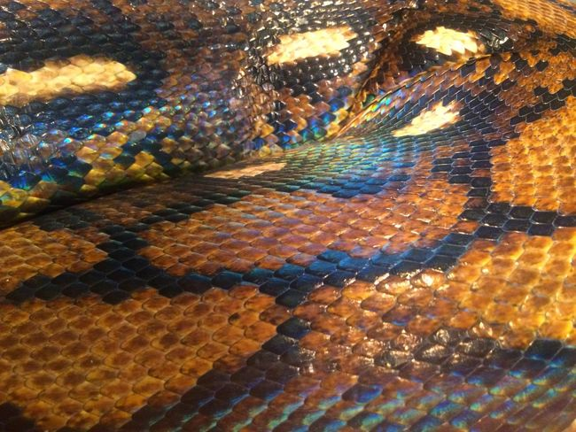 #Snake Snake Scales Rainbow Colorful Brown Closeup Nature Beautiful Snake