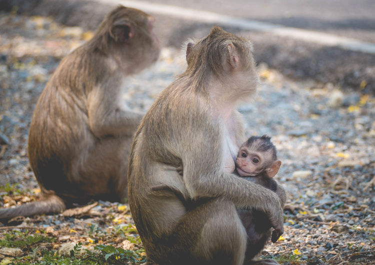 Mother and her baby monkey. monkeys macaque in thailand, south east asia. happiness background