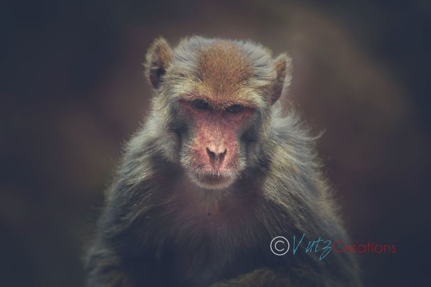 EyeEm Selects One Animal Mammal Primate Animal Wildlife Animal Body Part Animals In The Wild No People Portrait Vertebrate Hair Looking At Camera Ape Animal Hair Close-up Close-up Baboon Close-up