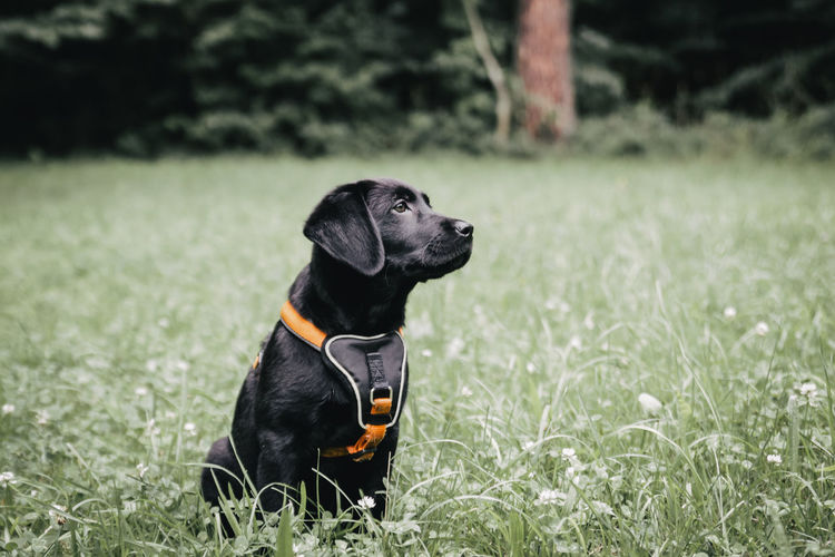 Black dog looking away while sitting on field