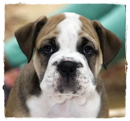 Bulldogpuppies