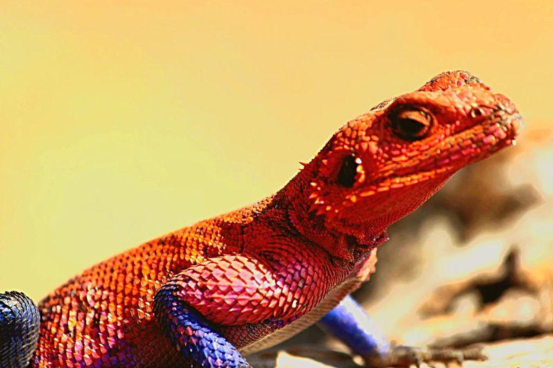 Lizard Colorful