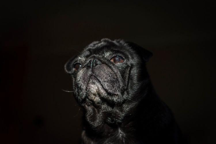 Close-up portrait of dog against black background