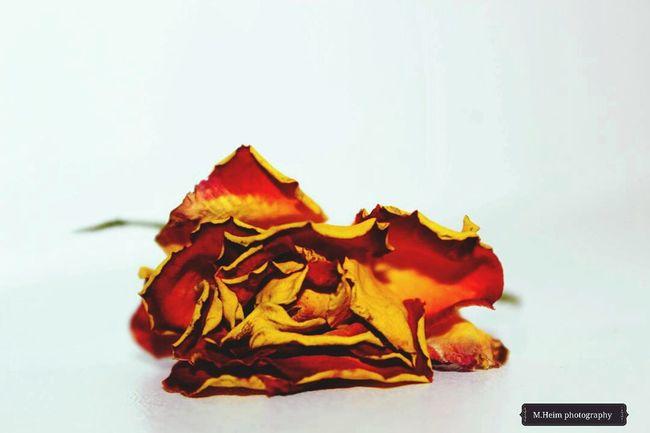 Dead Rose Flowerlovers Rose🌹 Nature Textures