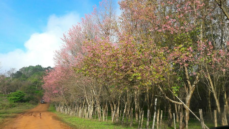 Travel Photography Beauty In Nature Tree Growth Nature Sky Pink Color Plant Multi Colored Day Outdoors Flower Cloud - Sky People Phulomlo, Thailand Flowers, Nature And Beauty Tree Growth Blossom Pink Flowers Wild Himalayan Cherry Cherry Blossoms
