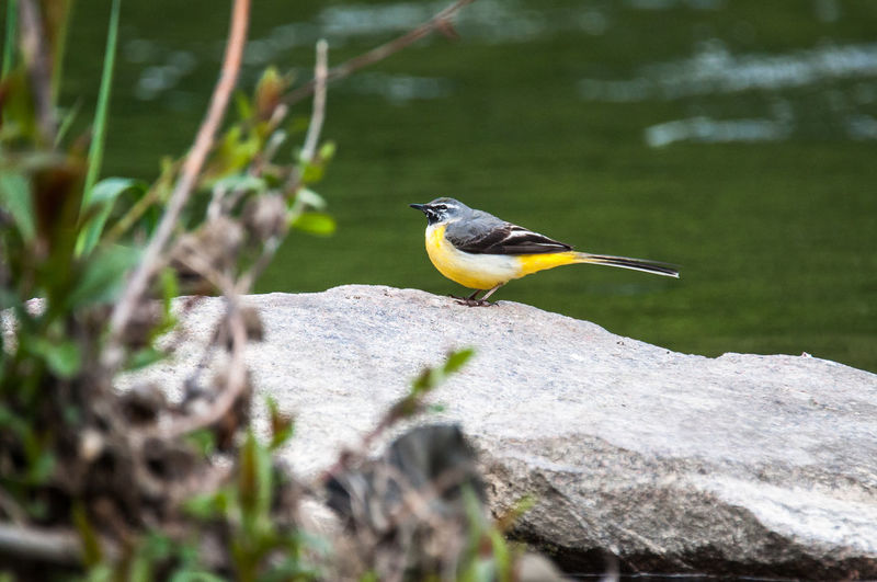 a yellow wagtail sitting on a roch in the Bird River in Basel, Switzerland Animal Animal Wildlife One Animal Bird Beauty In Nature Rock Nature Songbird  Yellow Wagtail Wagtail Bergstelze Gebirgsstelze Basel Birs