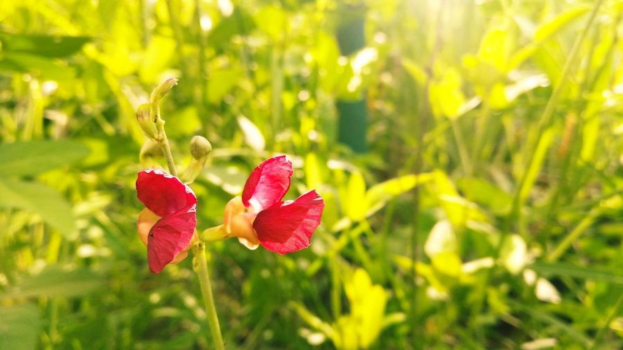Close-up of red flowering plant on field