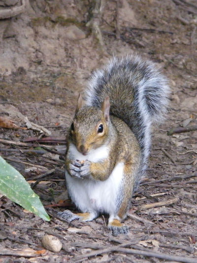 Animal Themes Animal Wildlife Animals In The Wild Beauty In Nature Close-up Day Gray Squirrel Grey Squirrel Mammal Nature No People One Animal Outdoors Squirrel Squirrel Eating Wild Life Wildlife & Nature