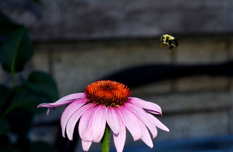 Close-up of bee hovering above pink flower