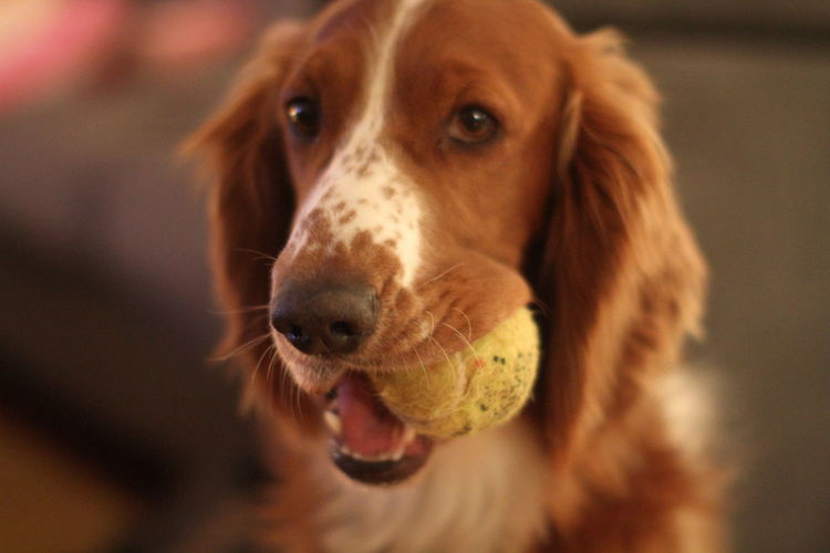 Animal Animal Head  Animal Mouth Animal Nose Animal Themes Brown Canine Close-up Dog Domestic Domestic Animals Focus On Foreground Indoors  Looking Looking At Camera Mammal No People One Animal Pets Playing Portrait Selective Focus Snout Tennisball Vertebrate