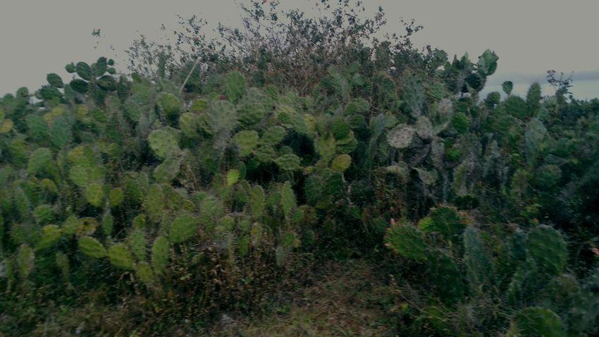 Fulan fehan hills in Atambua, Timor island, Indonesia Fulanfehan Cactus Atambua INDONESIA