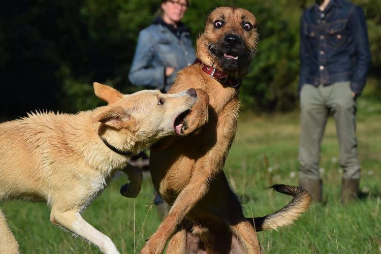 Brown dogs fighting on field