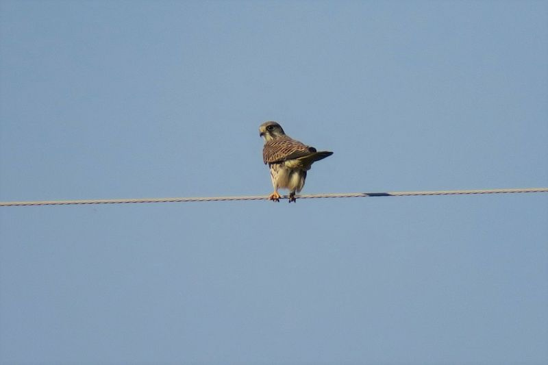 Low Angle View Of Bird Perching On Cable Against Clear Sky