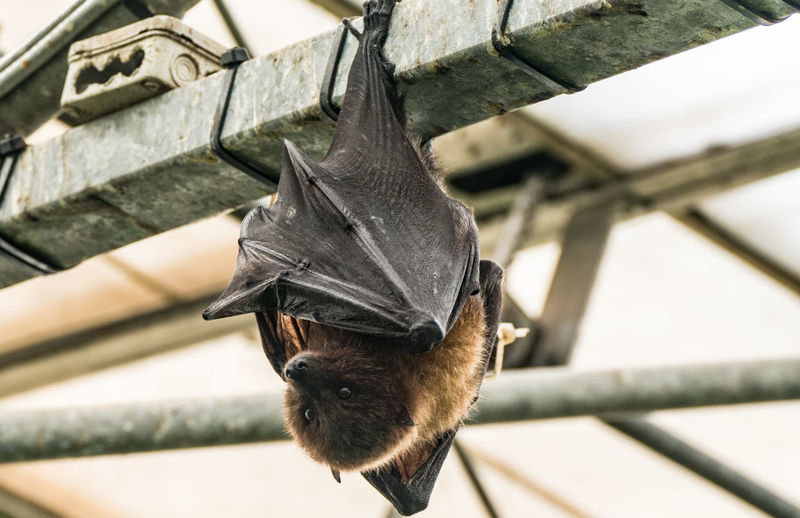 Low angle view of bat hanging upside down