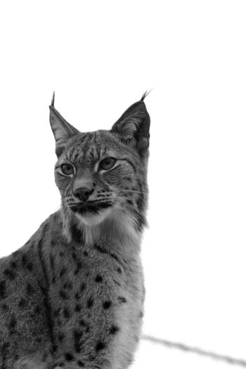 Parczoologique Animals Lynx Blackandwhite Zoodevincennes Noiretblanc Chat Sauvage Photooftheday Gris