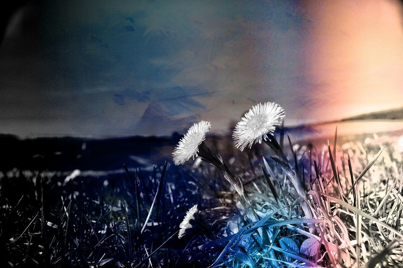flower, dandelion, nature, beauty in nature, fragility, growth, flower head, sunset, no people, plant, uncultivated, close-up, field, outdoors, sky, tranquility, freshness, grass, day