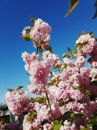 bam! spring in full swing 😊 Nature Nature Photography Street Photography Blue Sky Spring Spring Flowers In Full Bloom In Full Blossom Flowers Spring Blossoms