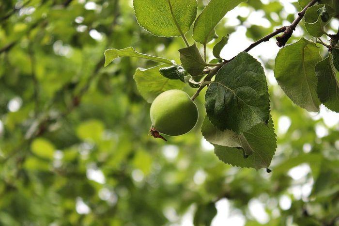 Яблочко яблоко Природа зеленый First Eyeem Photo