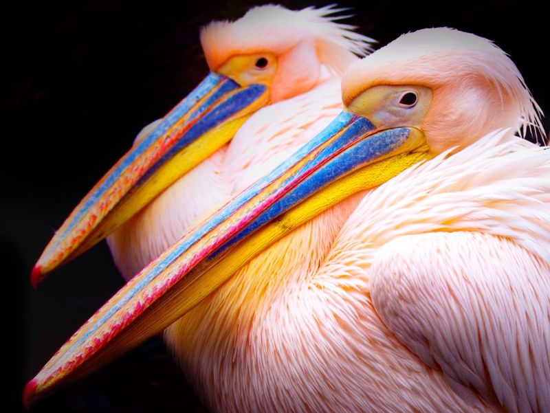 fantastic couple Pelican Pelicans Watching The Pelicans Zoombastic Zoo Animals  EyeEm Animal Lover EyeEm Nature Lover Animal Photography ZOO-PHOTO Pink Animal_collection Naturelovers Love Colorful Bird Photography Pretty In Pink Colorfull Zoom Animals Creative Light And Shadow Showcase: January