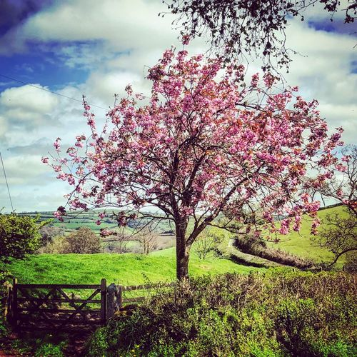 Cherry Blossom in the Springtime Devon Sky Cloud - Sky Plant Growth Land Field Nature Beauty In Nature Day Tree Landscape Tranquility No People Environment Tranquil Scene Flowering Plant Outdoors Grass