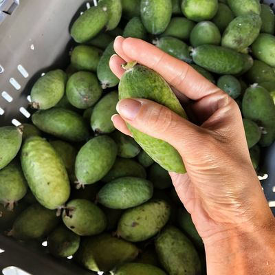Kiwi Gardener Gardener Gardener's Hands Fruits Of New Zealand Kiwi Produce Feijoa Human Hand Hand Healthy Eating Food And Drink Freshness Food Wellbeing