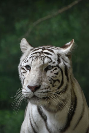 White Bengal tiger portrait BeNGaL TiGeR Tigers Wildlife & Nature Animal Themes Animal Wildlife Animals In The Wild Bengal Tigers Big Cat Close-up Mammal Mammals Nature One Animal Outdoors Portrait Predator Tiger White Bengal Tiger White Tiger Wild Wildlife