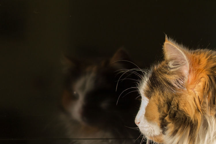 Close-up of tortoiseshell cat with reflection in glass