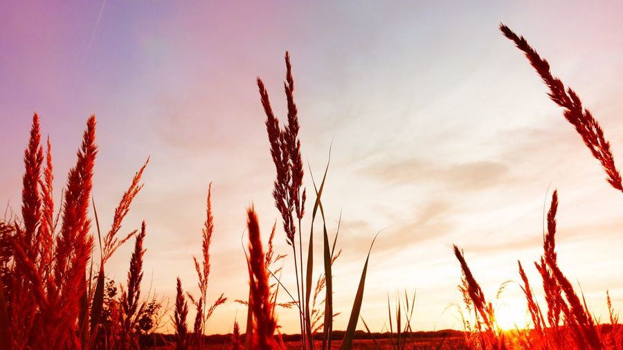 Sunset 3 :) Tranquil Scene Tranquility Outdoors Nature Sonnenuntergang Sunset Sunset_collection Field Grain Norderney Norderney Ist Mein Hawaii Summer Evening Germany Copy Space Nobody