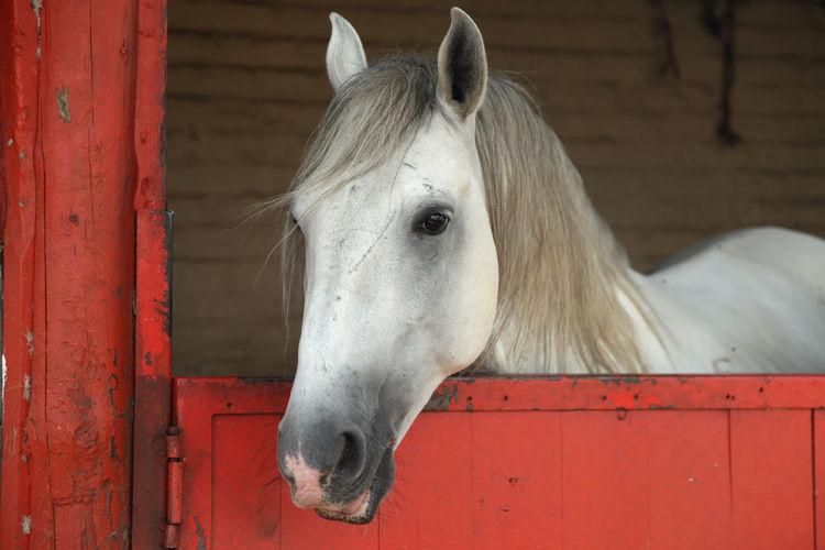 Horse Looking Out Of Metal Stable Door