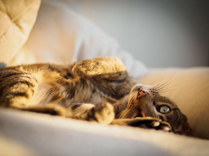 Portrait of cat resting on bed at home