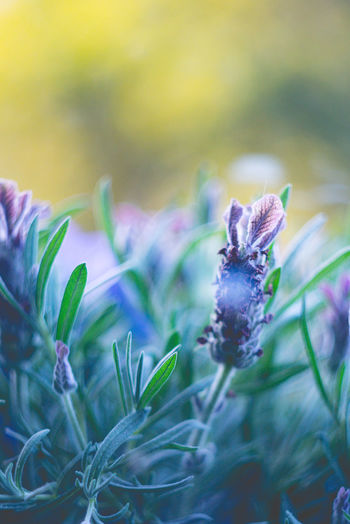 Beauty In Nature Close-up Day Flower Flower Head Flowering Plant Focus On Foreground Fragility Freshness Green Color Growth Inflorescence Lavander Nature No People Outdoors Petal Plant Plant Part Pollination Purple Selective Focus Vulnerability