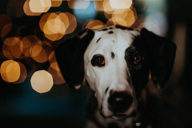 Close-up portrait of a dalmatian dog