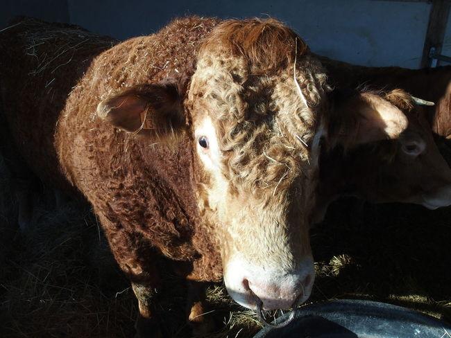 Week end en Sologne Cow Nature Red Color Sologne