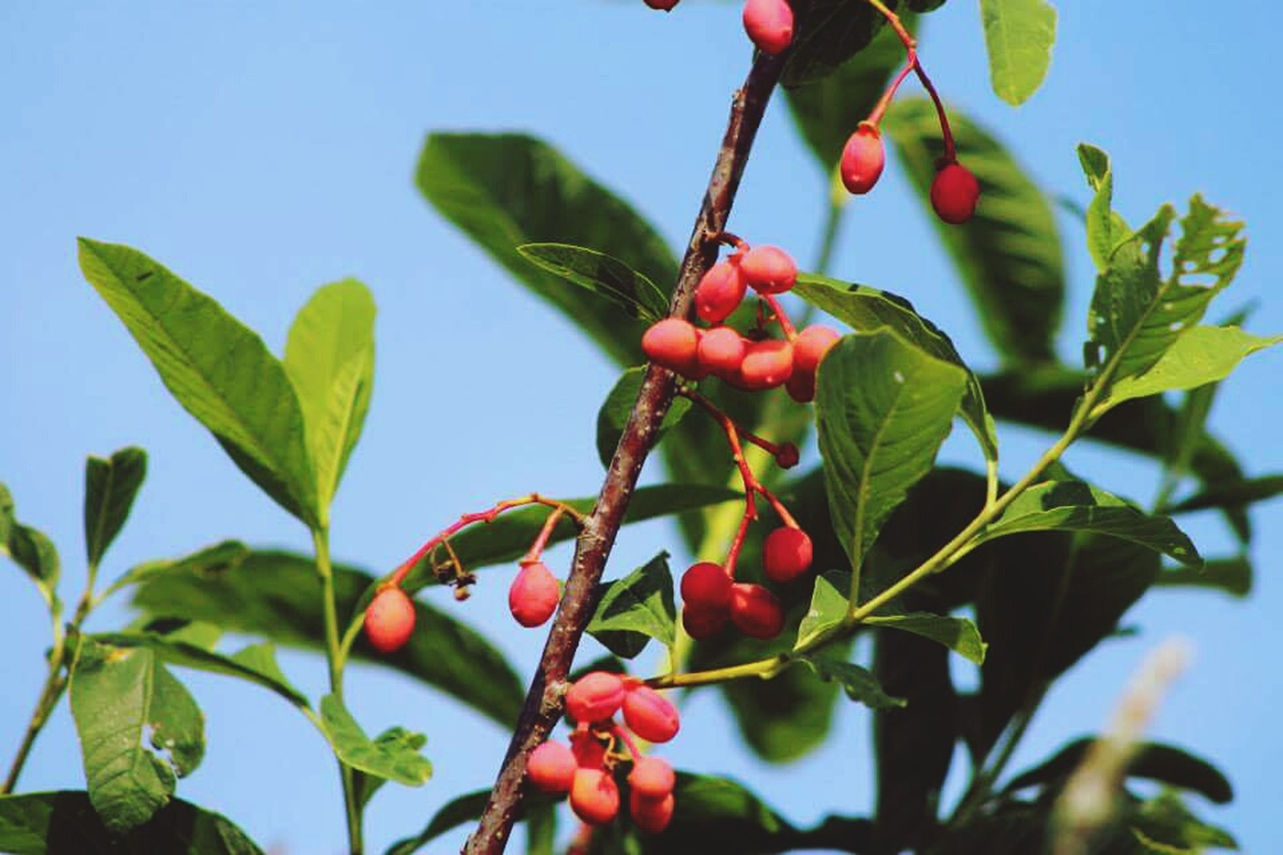 fruit, freshness, leaf, growth, food and drink, branch, food, tree, red, low angle view, close-up, healthy eating, nature, focus on foreground, green color, bud, ripe, plant, beauty in nature, berry