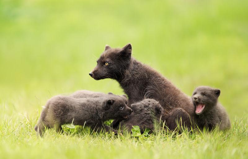 Arctic fox mum